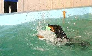 Doberman Swimming